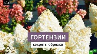 Секреты обрезки гортензий. Крупные соцветия. +18