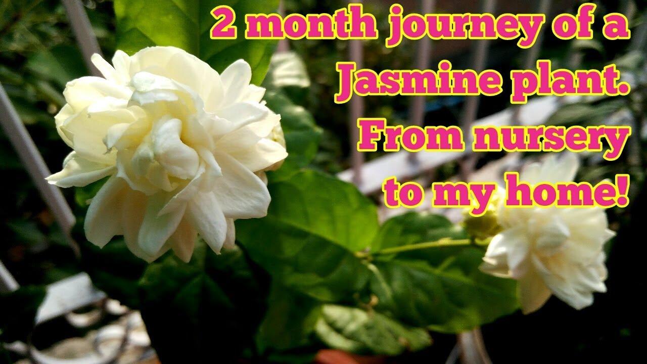 Grow jasminum sambacjourney of a jasmine plant with updates grow jasminum sambacjourney of a jasmine plant with updates izmirmasajfo