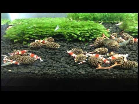 Alder Cones In Aquariums #75