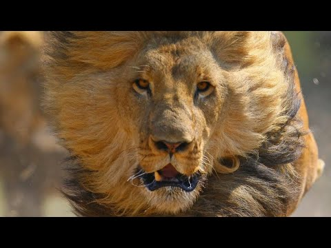 WHEN LIONS ATTACK *BRUTAL* National Geographic Documentary 2020 | 1080p