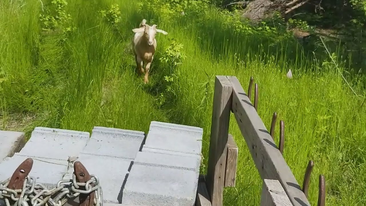Is it a dog or goat chasing us?
