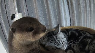 The cat that doesn't get angry no matter what the otter does [Otter life Day 98] カワウソに何をされても怒らない猫