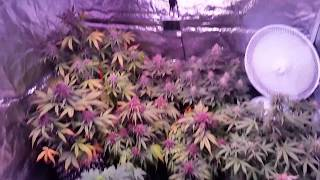 Growing 12 Auto's with Mars Pro II CREE 256 in a 4 x 4 Mars Hydro Tent! #9