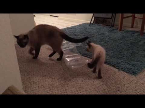 My Siamese Cat Plays with a Foster Siamese Kitten! (Shogun)