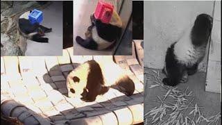 2021-03-06 Xiao Qi Ji ~ The Hammock, The Handstand, & Tian Tian 💕