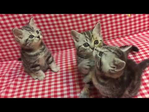 🦋Butterfly tabby 🦋 Black silver marble / classic/ blotched tabby kittens