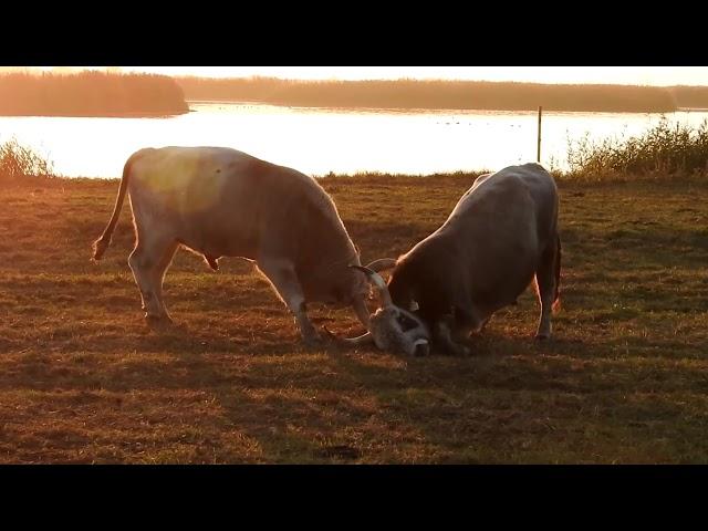 Hungarian gray cattle/ Magyar szürke szarvasmarha