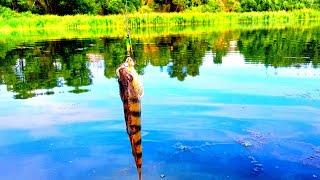 Жор Окуня Азартная рыбалка на спиннинг Бешеный клёв окуня на озере