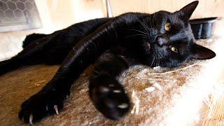 Уход за Бомбейской Кошкой, Бомбеи, Породы кошек