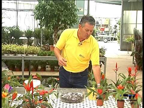El jardinero en casa nidularium youtube for Jardinero en casa