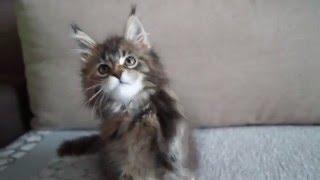 котёнок Мейн кун Nebraska Big Paw*Ru (2 мес.20 дней)