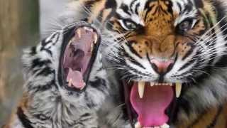 Амурский Тигр (Окружающий мир, 3 класс)