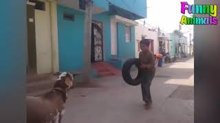 Funny Sheep Attacking People! Hilarious! Funniest Animals Videos 2018