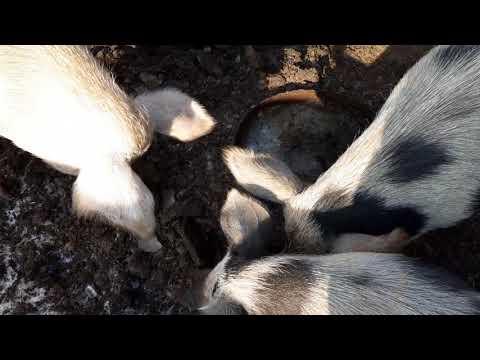 🐖Как поить в морозы свиней? Свиноводство для очень ленивых.