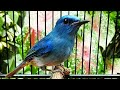 Tledekan Biru Anda Langsung Nyaut Dengar Si Biru Gacor  Mp3 - Mp4 Download