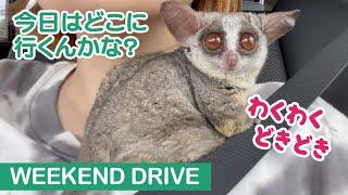 車内でも飼い主にべったりな猿 / Weekend Drive with Pizzatoru the Bushbaby / ショウガラゴのピザトル