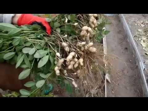 Арахис на даче полный процесс от посадки до сбора урожая