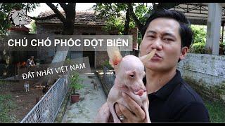[DOG REVIEW] Chó Phốc đắt nhất Việt Nam - Russian toy - Phốc lilac / Hùng Chó Channel