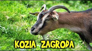 KOZY i małe koźlątka - Kozia Zagroda Dobrzenica - zapraszamy w odwiedziny