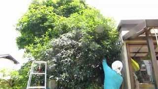 1年間手入れせず大きくなりすぎた植木を効率よく剪定する方法のご紹介。...