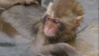 長野県・地獄谷野猿公苑の温泉に入る猿ですね。 今は、日本人よりむしろ...