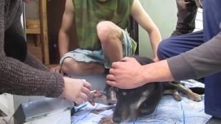 Кровь бьет фонтаном из раненой лапы собаки в Бердске