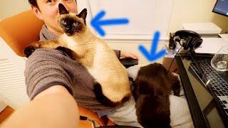 【しゃべる猫】飼い主が好きすぎて全体重でのしかかる猫たち【しおちゃん】