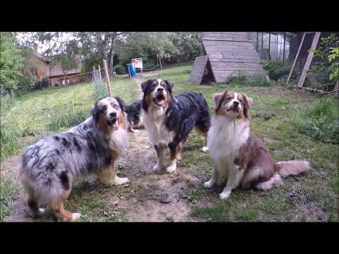 Mystic Highlands Australian Shepherd & Dalmatian