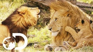 Everything You've Ever Wanted To Know About Wild Lions! | Big Cat Tales