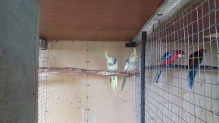 Разведение Попугаев Корелл.У Корелл появились птенцы .Кормление попугаев в период выкармлевание !
