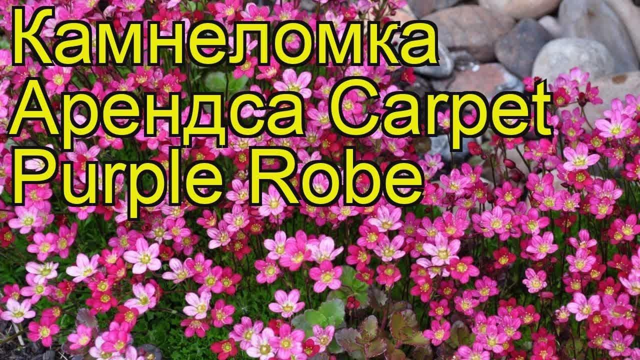Камнеломка арендса Carpet Purple Robe. Краткий обзор, описание .