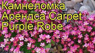 Камнеломка арендса Carpet Purple Robe. Краткий обзор, описание характеристик, где купить саженцы