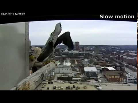 Manchester, NH Peregrine Falcon - HEY That is my throne!�0301)