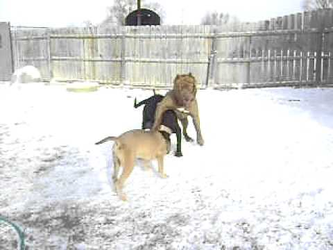 """American Bandogs """"Mind Changing Kennel"""""""
