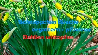 Schnäppchen Büsche ergattern + pflanzen, Dahlien umtopfen (Gärtnern ganz einfach) Film 45