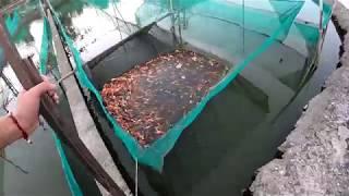 #koiforsale || MỞ BÁN LÔ CÁ KOI GIÁ RẺ CHUẨN ĐẸP || MỌI NGƯỜI NHANH TAY LIÊN HỆ NHÉ || T K FISH FARM