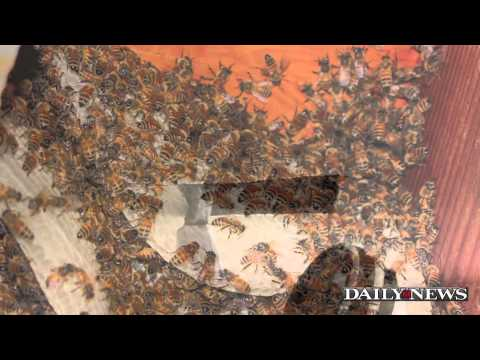 40,000 bees found in NYC apartment