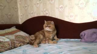 Янтарик . Экзотический короткошёрстный котик.