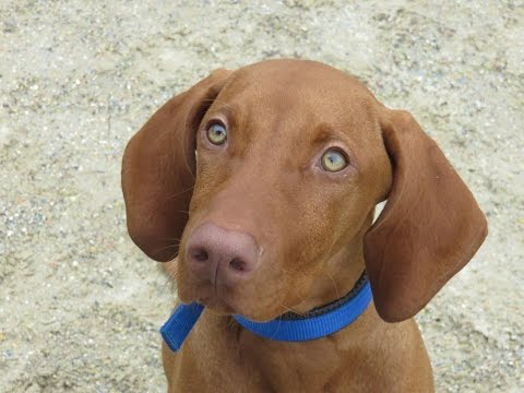 Kai - Hungarian Vizsla - 2 Week Residential Dog Training at Adolescent Dogs