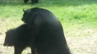 Медвежий секс