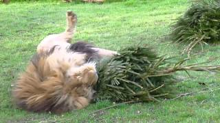 African Lions at Linton Zoo love their new Christmas Tree