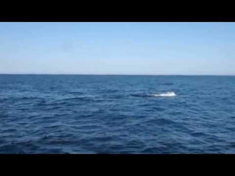 Humpback whale calf does flip with tail slap