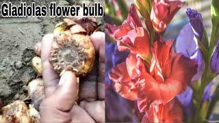 How to grow gladiolas flower bulb || winter flower bulb