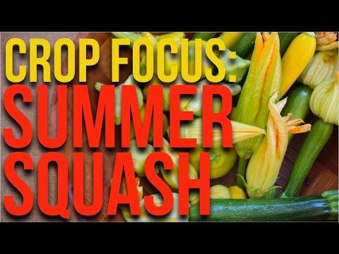 CROP FOCUS: Patty Pan Squash