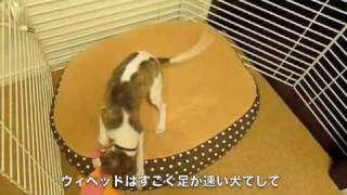 Whippet──ウィペット(ホイペット)という犬についてご紹介します。犬の...