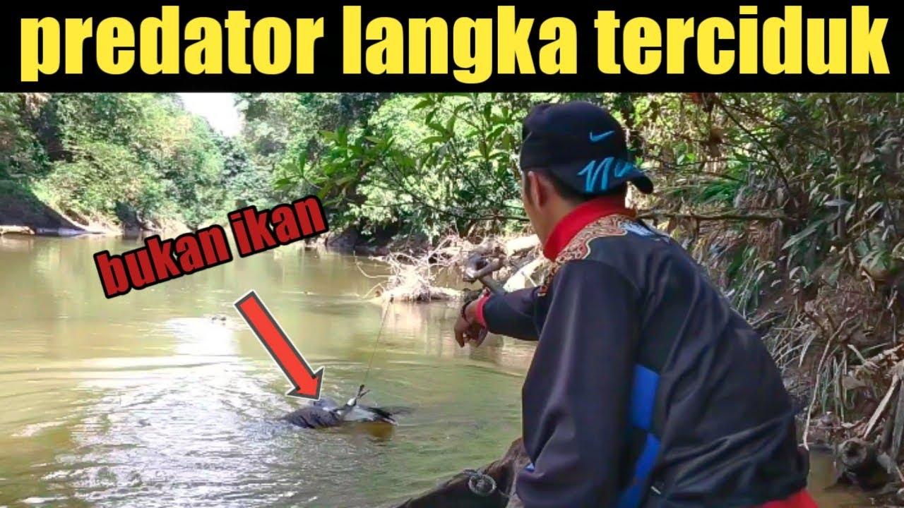 Predator langka hutan Kalimantan terciduk
