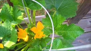 Rachael's City Pickers Garden Week 4 Update