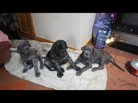 Big Sister Boo Neapolitan Mastiff Inside with Puppies