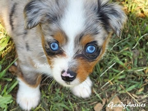 toy blue merle aussie pup youtube. Black Bedroom Furniture Sets. Home Design Ideas
