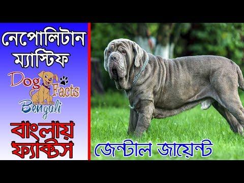 Neapolitan Mastiff Dog Facts In Bengali | Popular Dogs | Dog facts bengali
